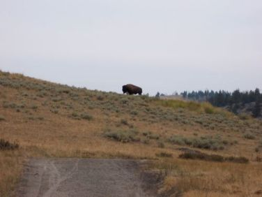 buffalo-on-trail