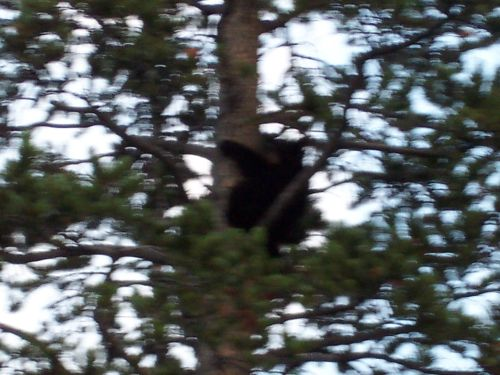 zoomed-bear-cub